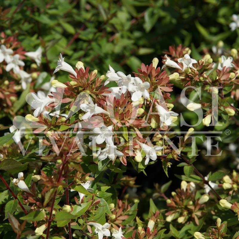 Abelia x grandiflora 'Compacta'