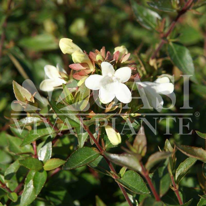 Abelia (Caprifoliaceae)
