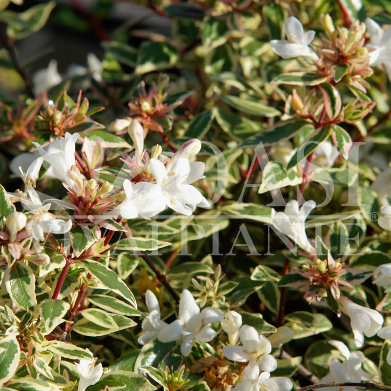Abelia x grandiflora 'Variegata'
