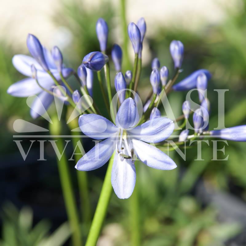 Agapanthus africanus 'Blue Baby'
