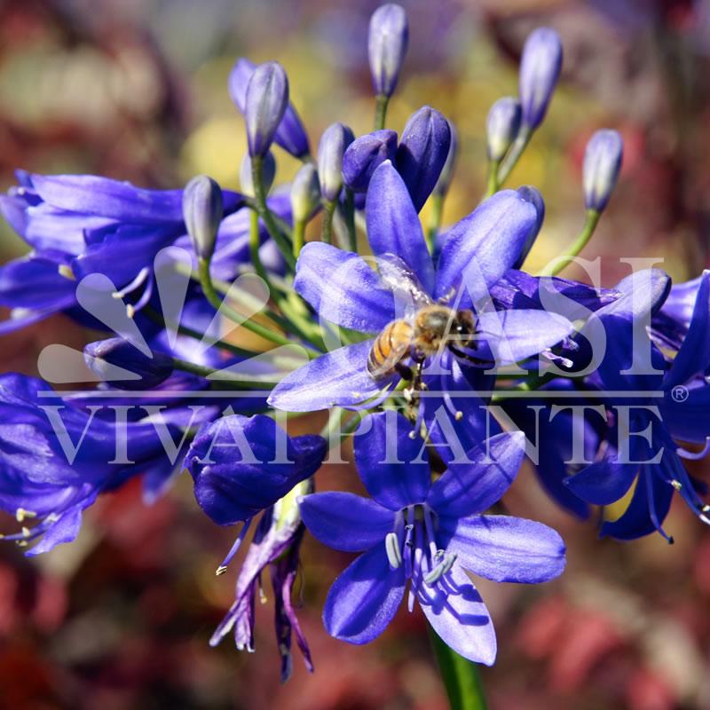 Agapanthus inapertus 'Lilliput'