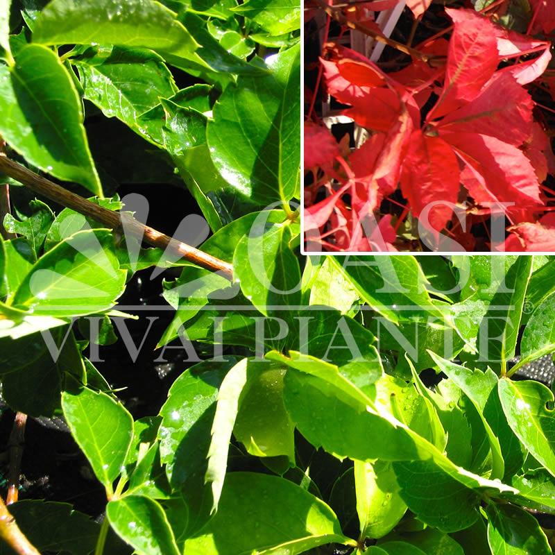 Ampelopsis quinquefolia