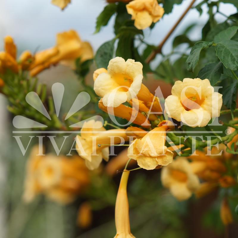 Campsis radicans 'Yellow Trumpet' f. flava