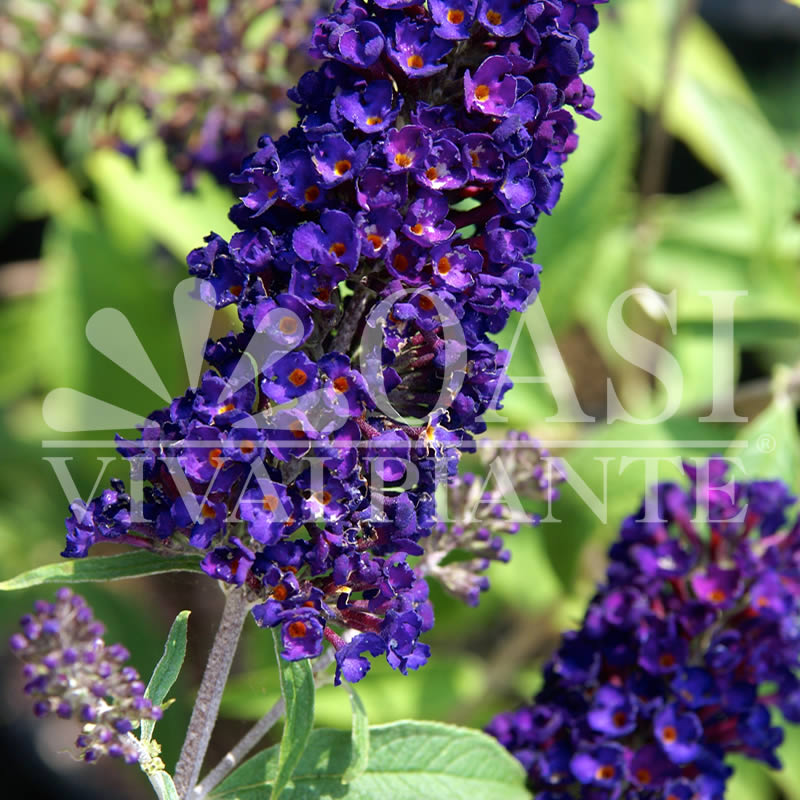 Buddleja d. 'Black Knight'