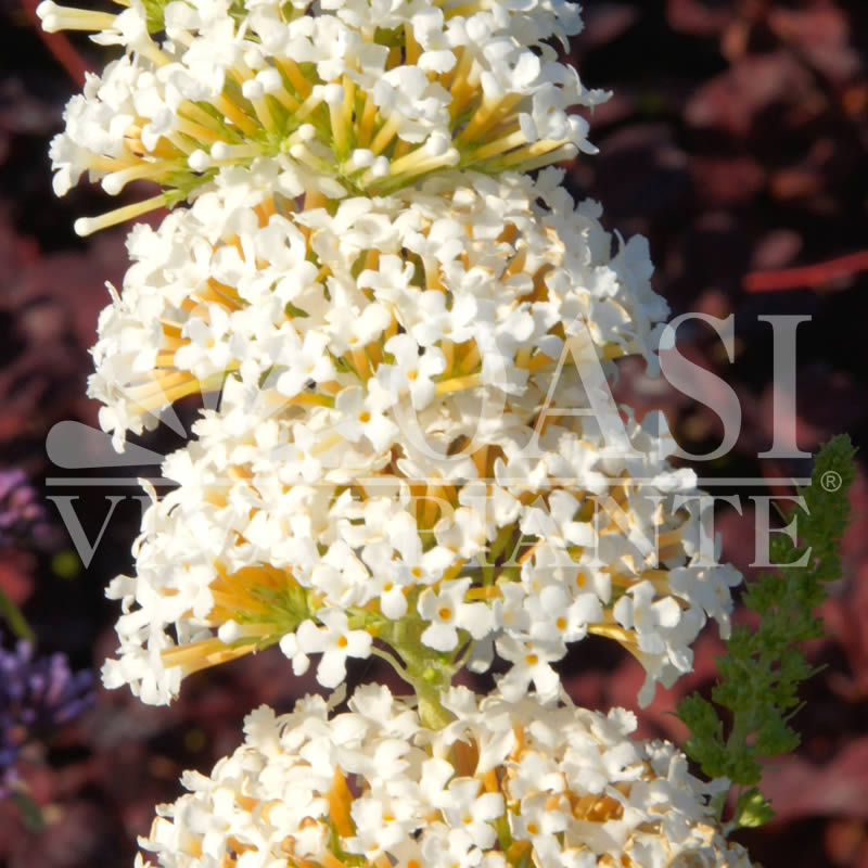 Buddleja d. 'White Profusion'