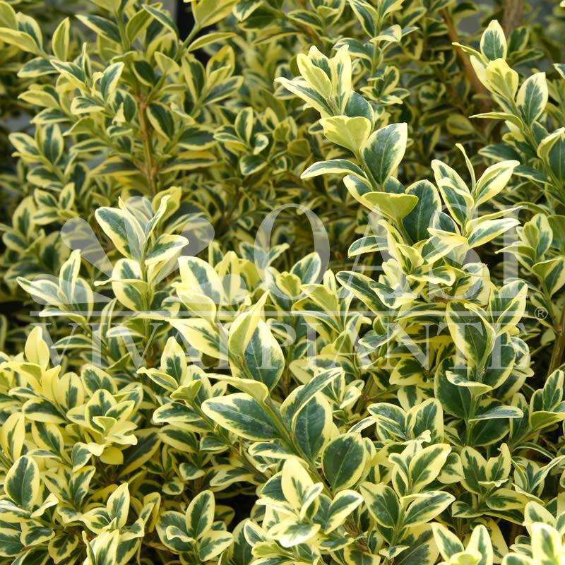 Buxus sempervirens 'Argenteo-variegata'