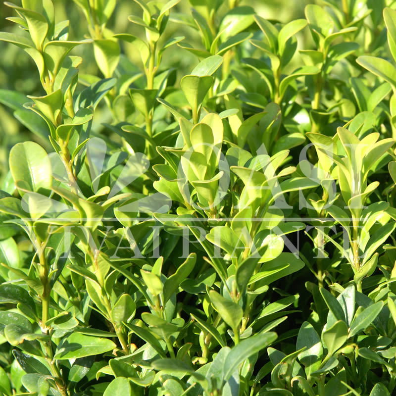 Buxus sempervirens 'Arborescens'