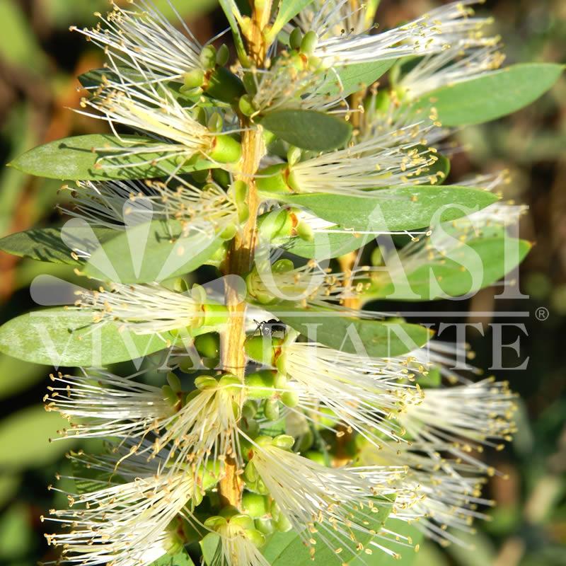 Callistemon citrinus 'Albus'