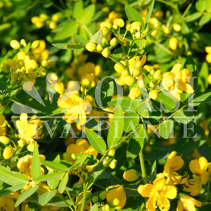 Cassia corymbosa (Senna corymbosa)