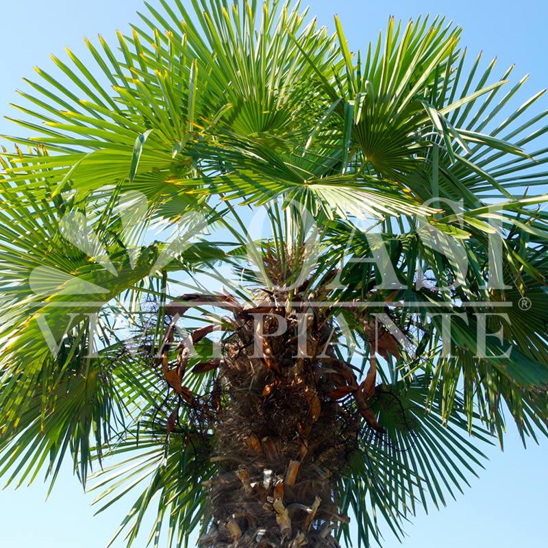C. excelsa (Trachycarpus fortunei)