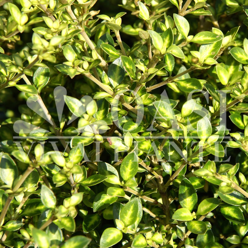 Coprosma grandifolia 'Green Globe'