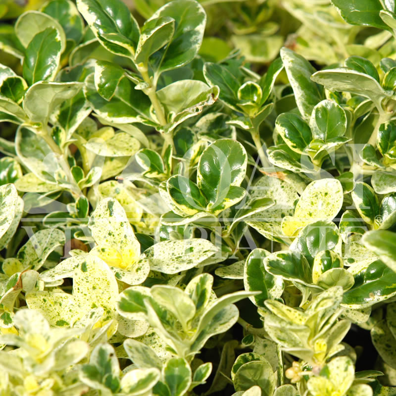 Coprosma (Rubiaceae)