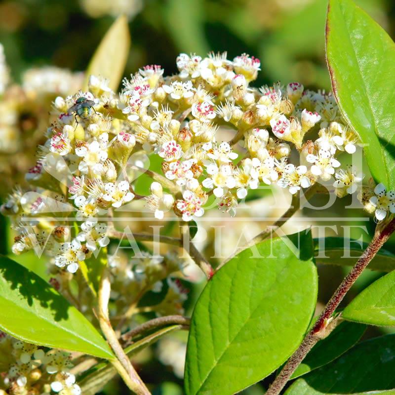 Cotoneaster floccosus