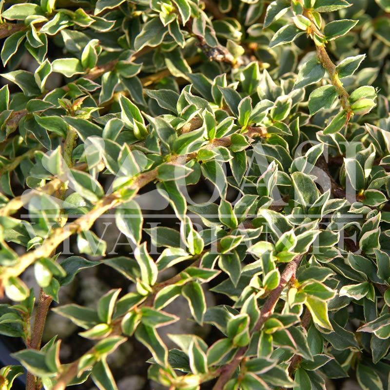 Cotoneaster horizontalis 'Variegatus'