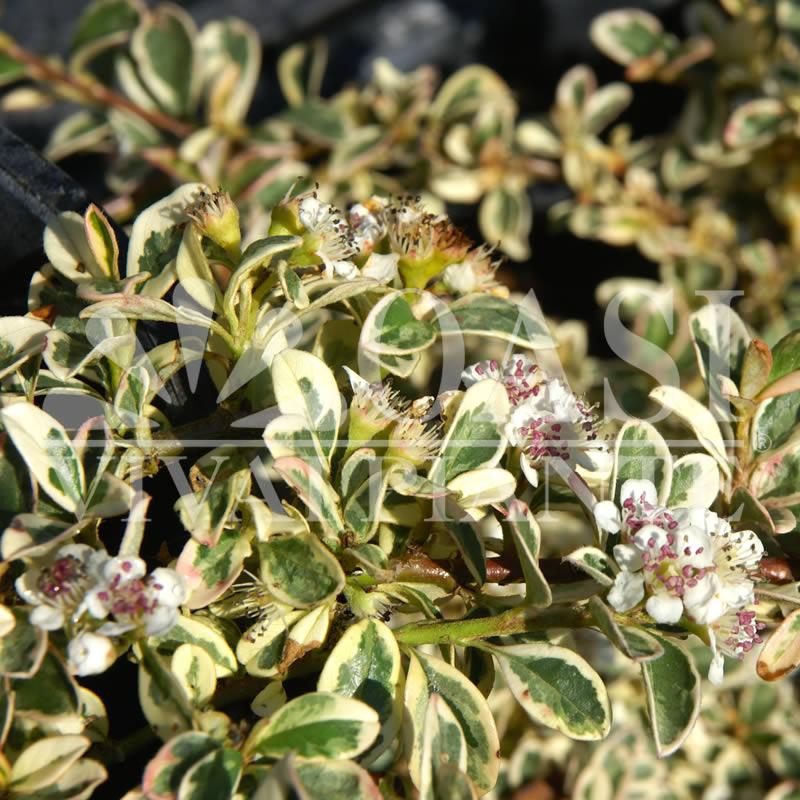 Cotoneaster x suecicus 'Juliette'