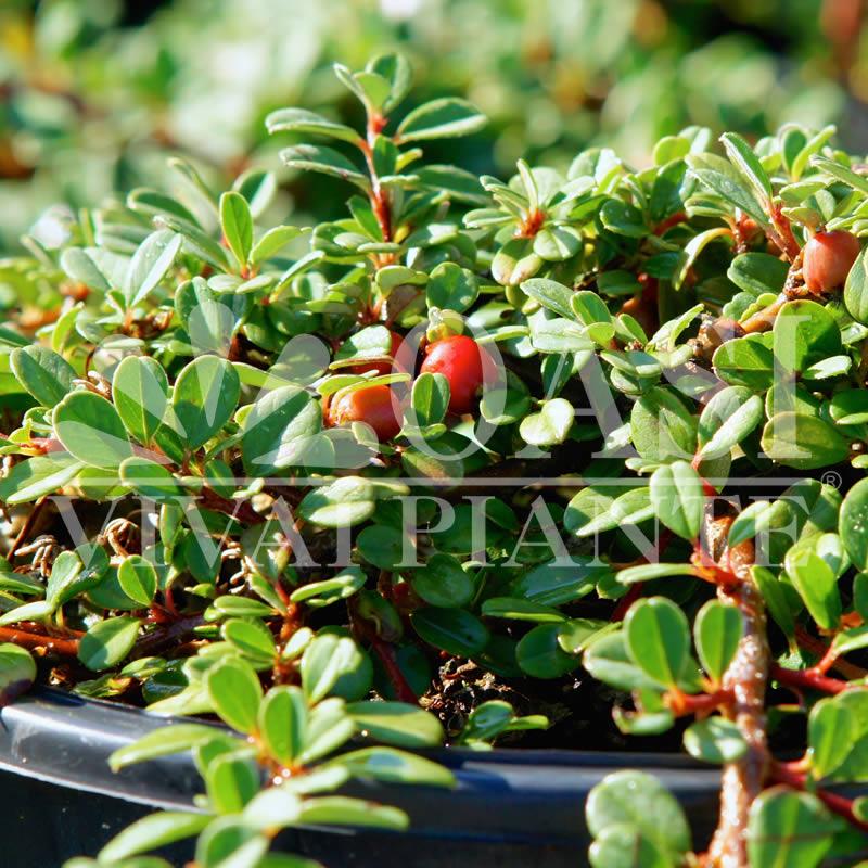 Sempreverdi cotoneaster rosaceae oasi viviai piante - Cotoneaster procumbens queen of carpets ...