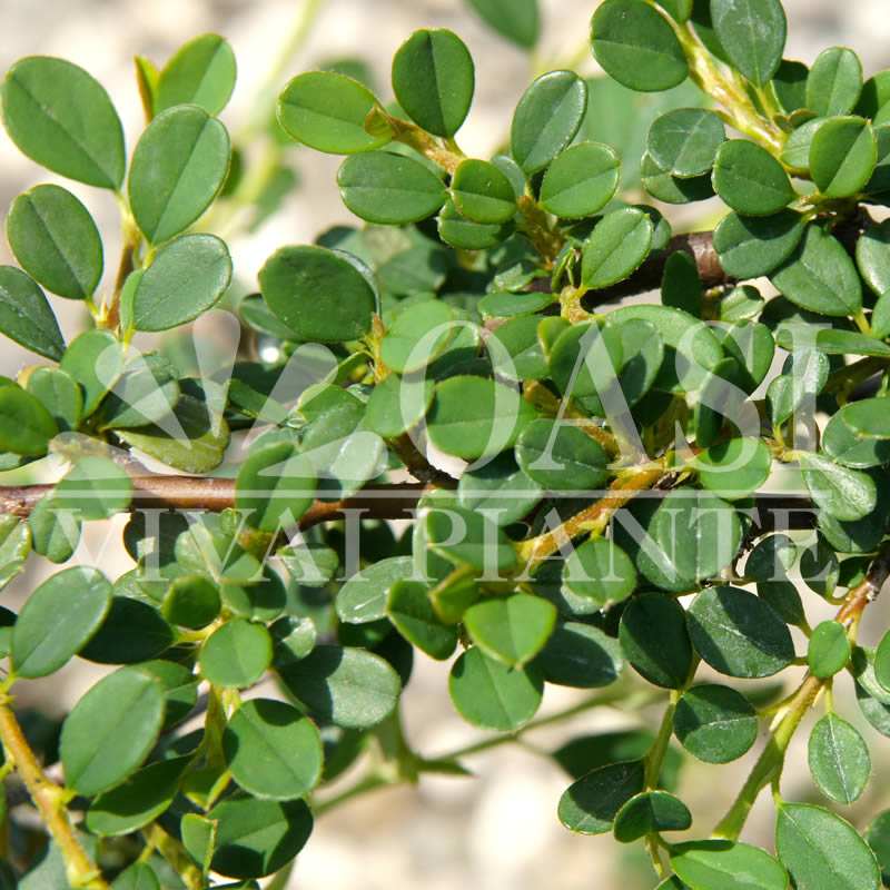 Cotoneaster procumbens 'Streib's Findling'