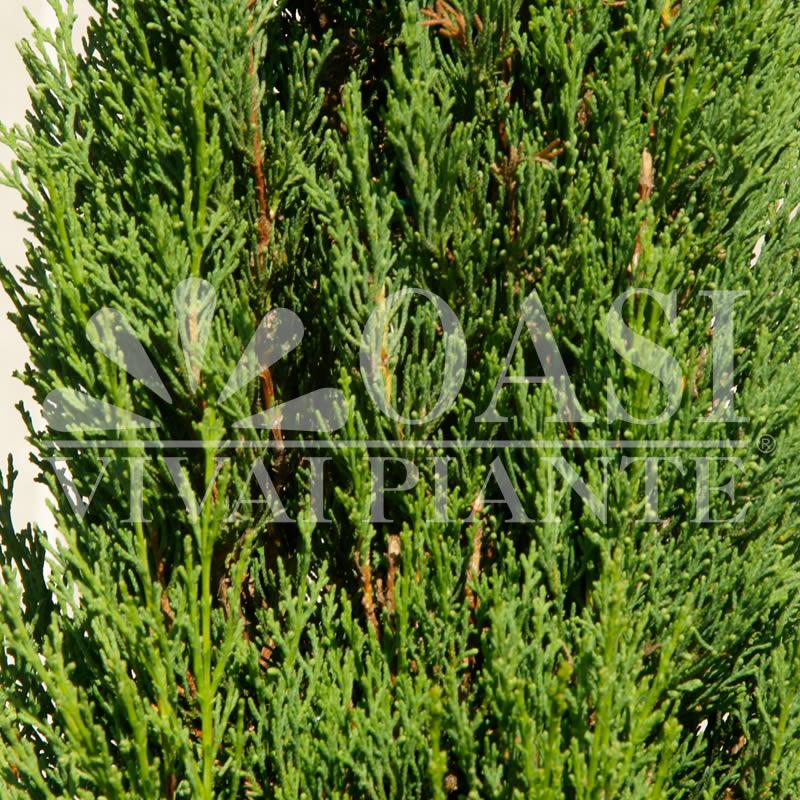 Cupressus sempervirens 'Pyramidalis'