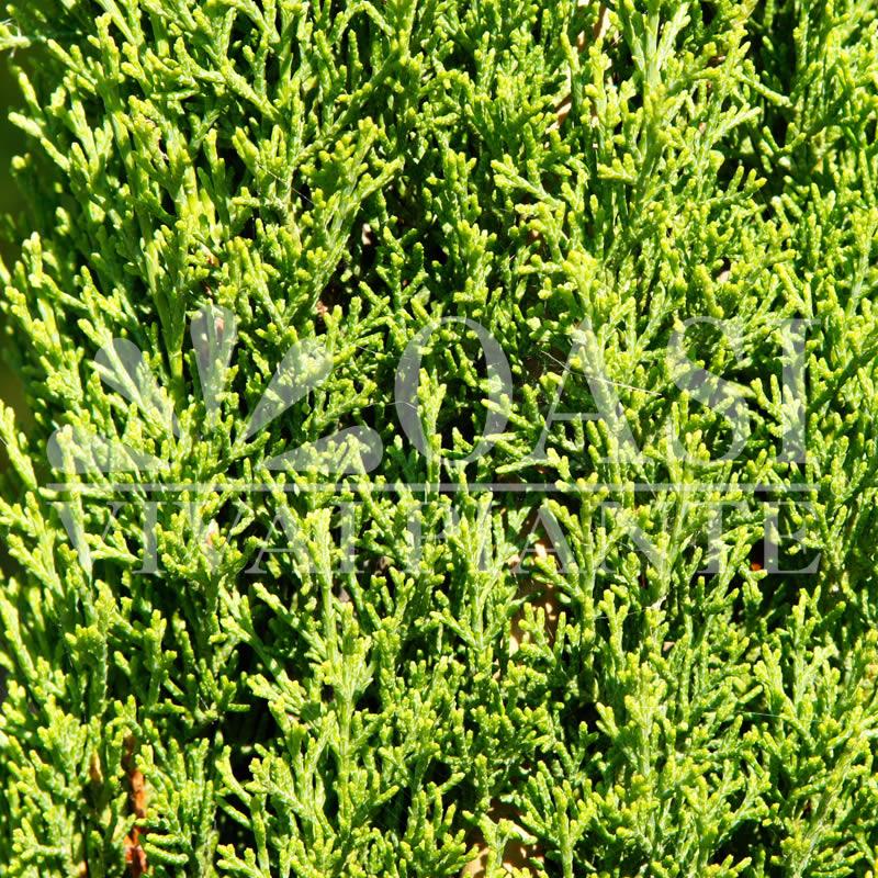 Cupressus sempervirens 'Totem Pole'