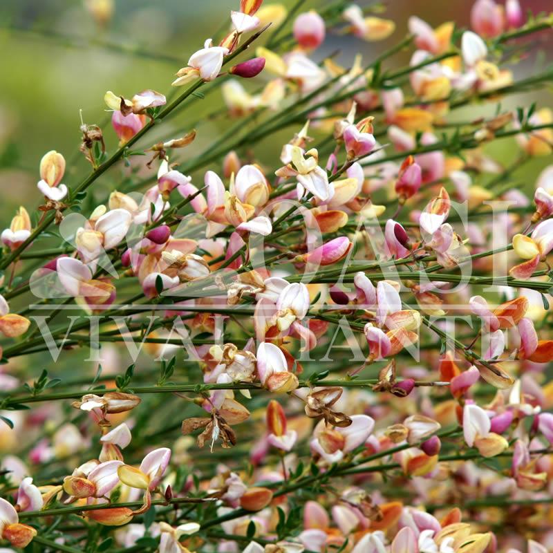 Cytisus supinus 'Zeelandia'
