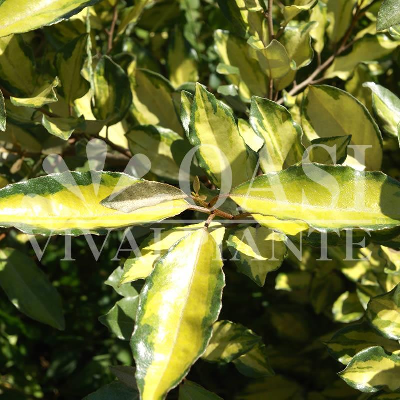 Elaeagnus x ebbingei 'Aurea'