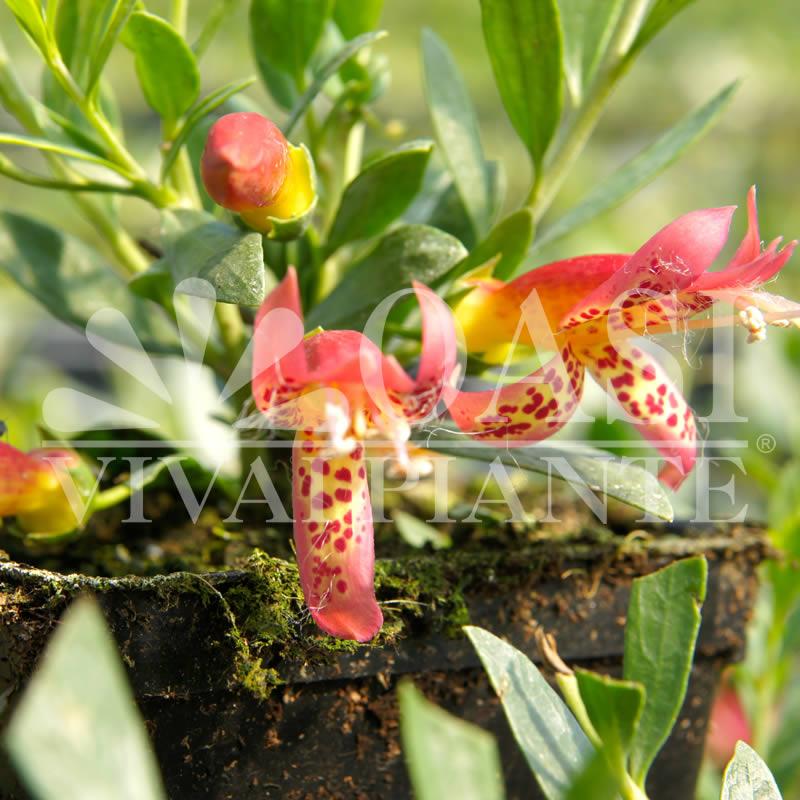 Eremophila maculata 'Red'