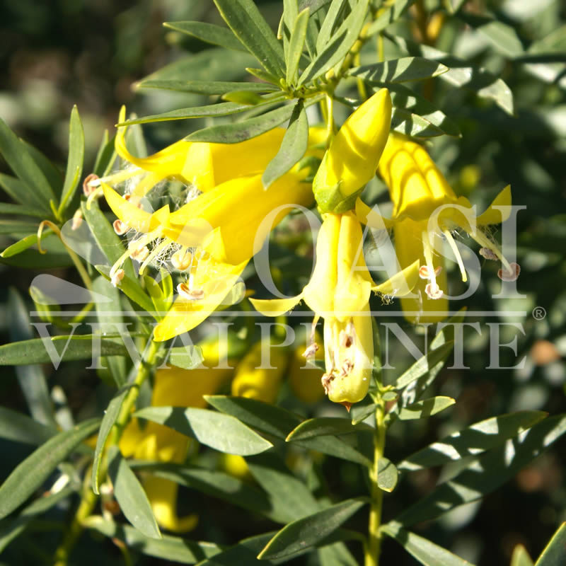 Eremophila maculata 'Yellow Trumpet'