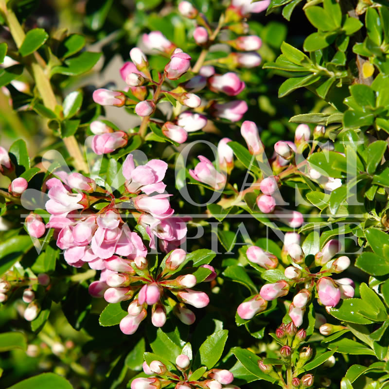 Escallonia alpina 'Apple Blossom'