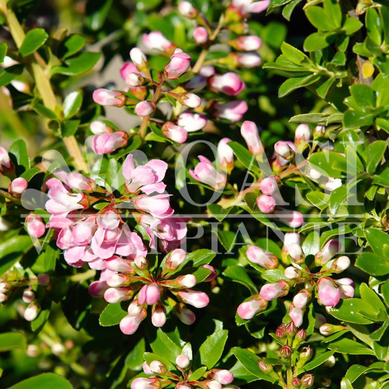 Escallonia alpina 'Apple Blossom'