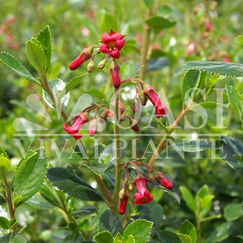 Escallonia rubra macrantha