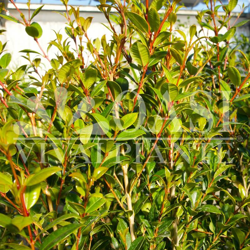 Eugenia myrtifolia 'New Port'