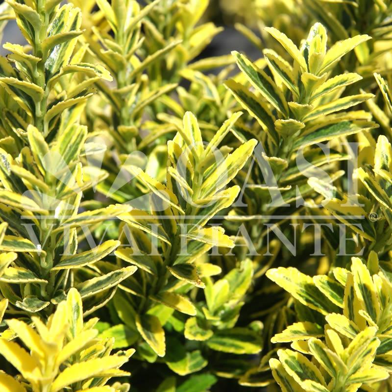 Euonymus japonicus 'Microphyllus Variegatus'