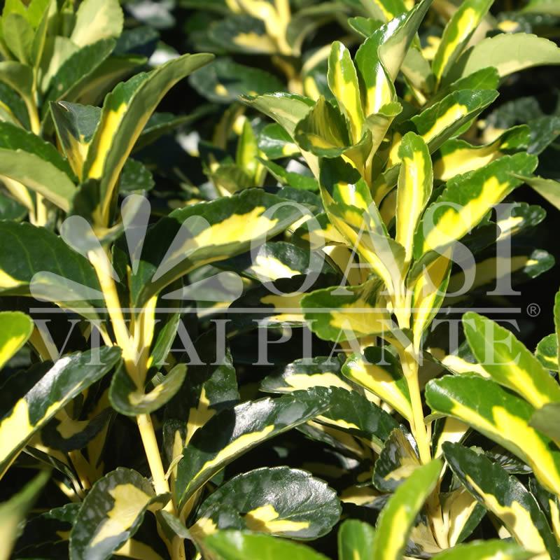 Euonymus japonicus 'Auropictus'