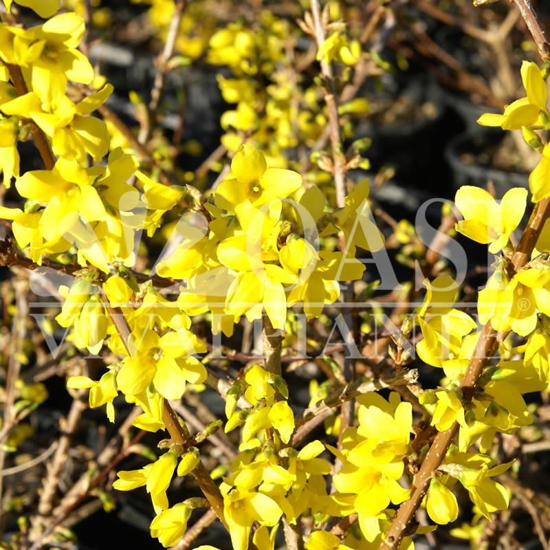 Forsythia x intermedia 'Lynwood Variety'