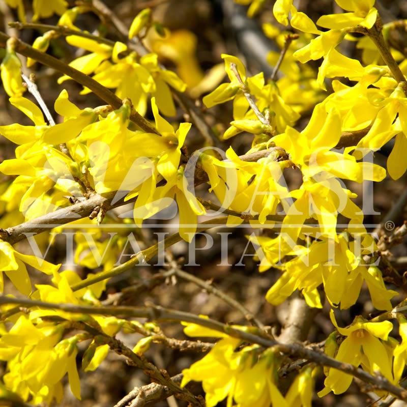 Forsythia x intermedia 'Minigold' ('Flojor')