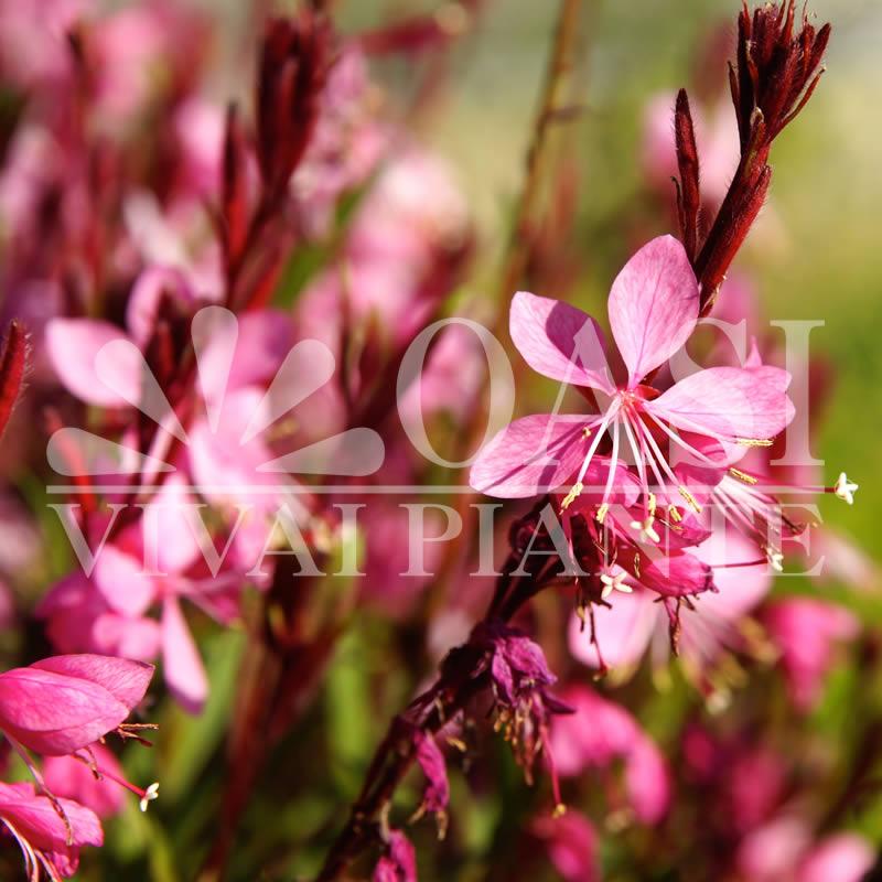 Gaura lindheimeri 'Compact Pink'
