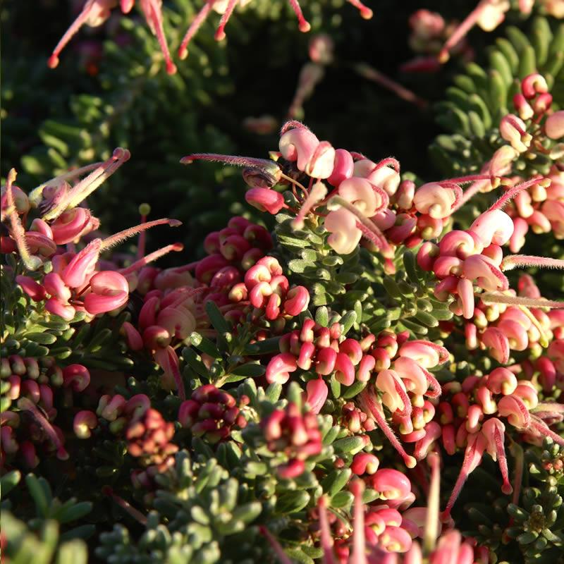 Grevillea lanigera 'Mount Tamboritha'