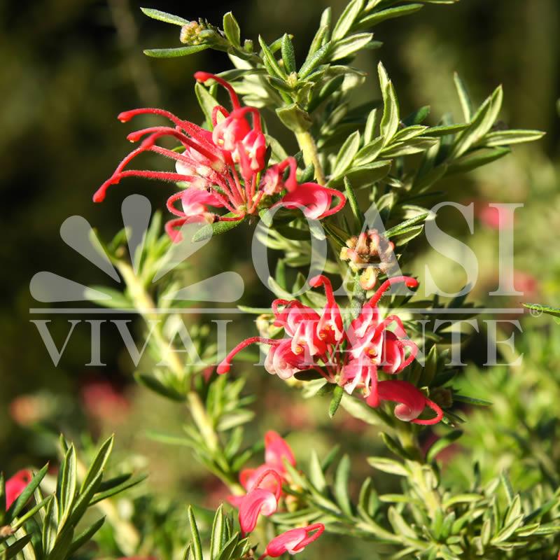 Grevillea robusta 'Rondeau'