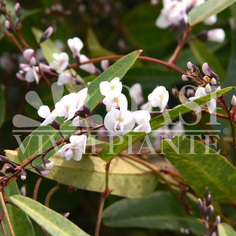 Hardenbergia violacea 'White Crystal'
