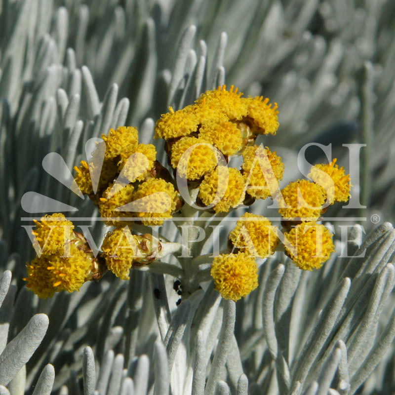 Helichrysum microphyllum