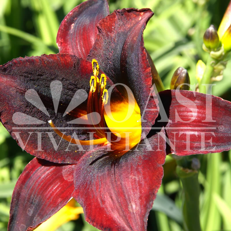 Hemerocallis 'Starling'
