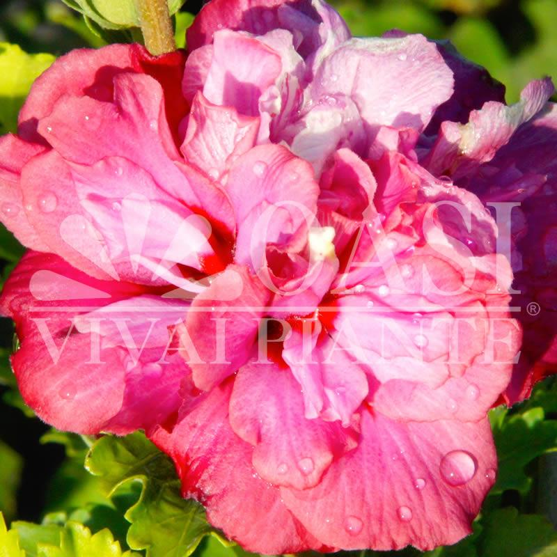 Hibiscus syriacus 'Roseum Plenum'