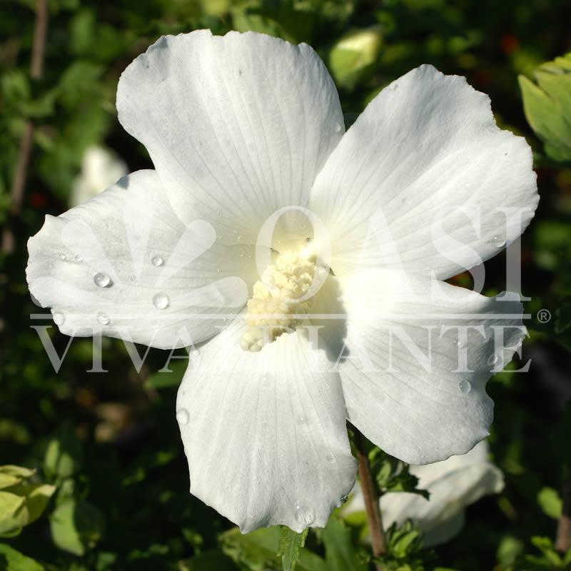 Hibiscus syriacus 'Suor Angelica'
