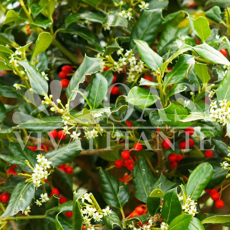 Ilex myrtifolia 'Nellie R. Stevens'