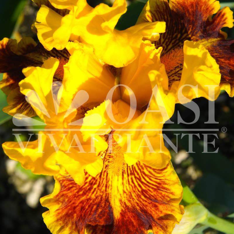 Iris 'Dazzing Gold'