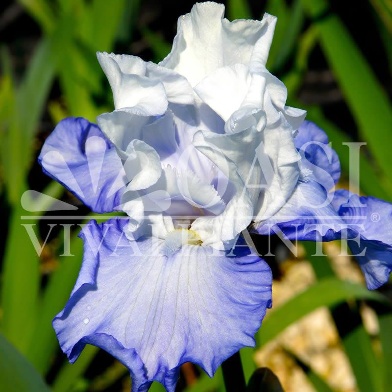 Iris 'Floligslort'