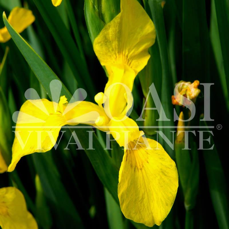 Iris 'Pseudacorus Bastardii'