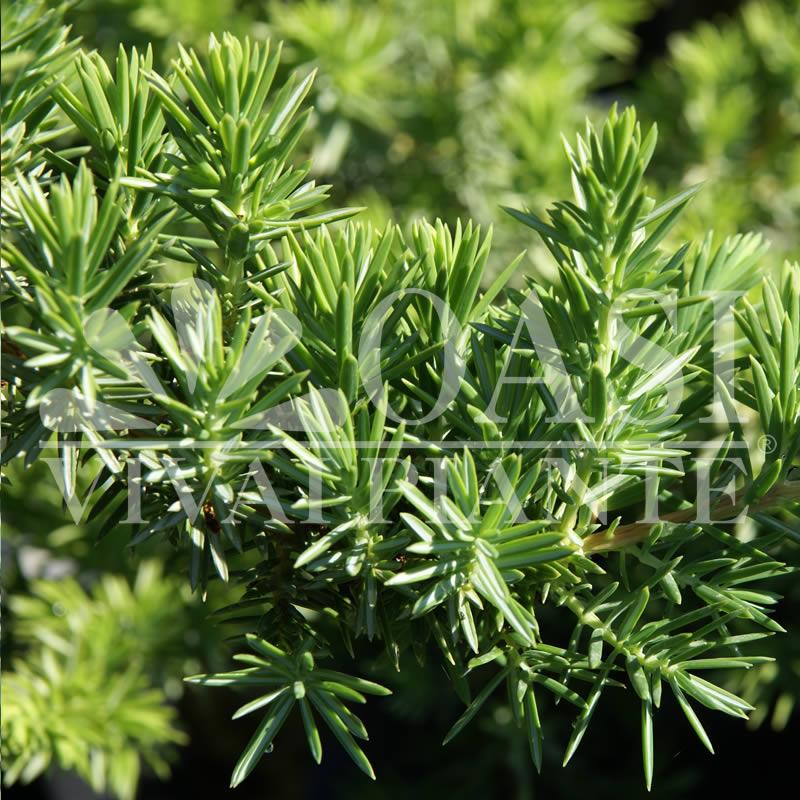 Juniperus in varietà