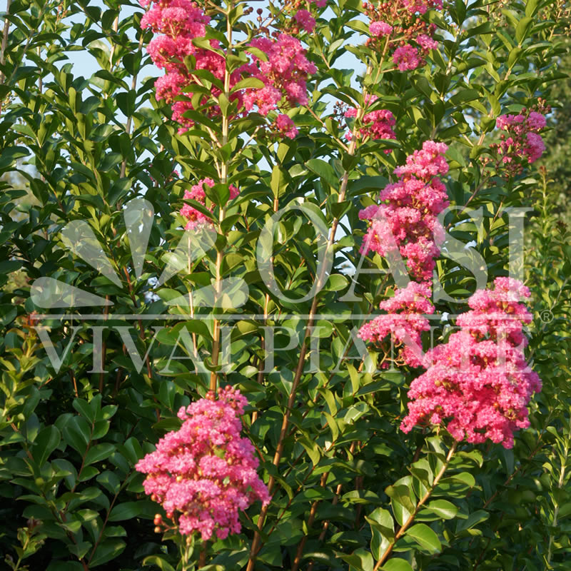 Lagerstroemia indica 'Durant Red'