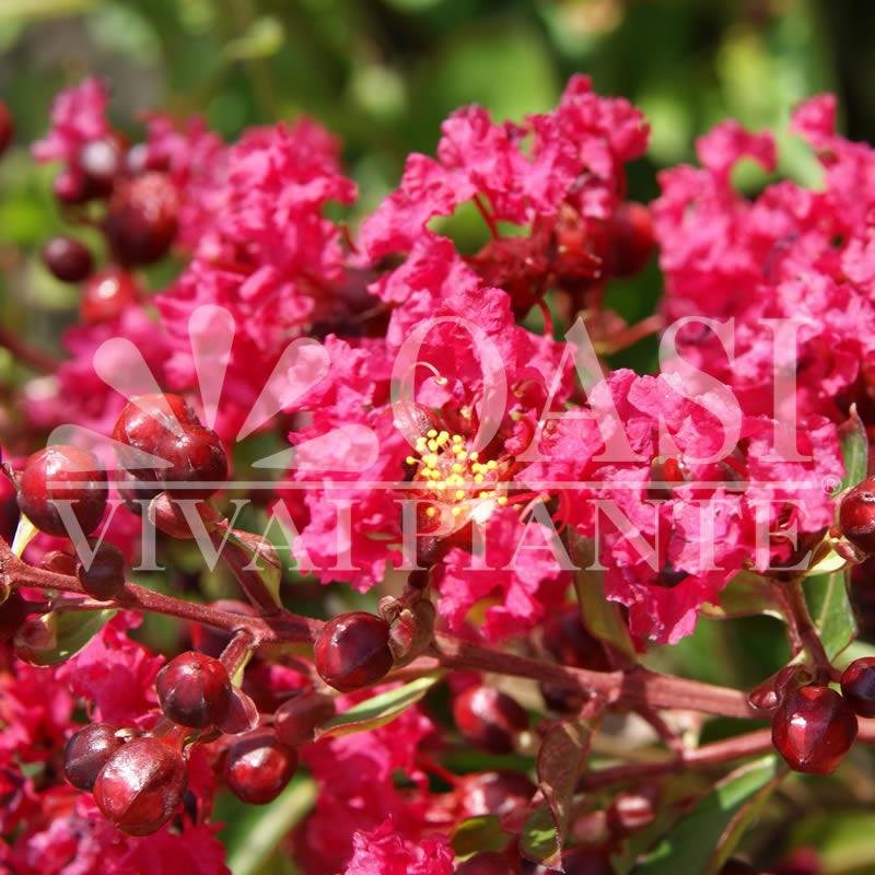 Lagerstroemia indica nana 'Petit Red'